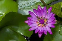 Purple lotus flower with many bee Stock Photos