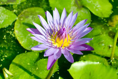 Purple lotus flower in morning light Royalty Free Stock Photography