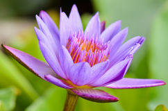 Purple Lotus flower ( Nymphaea Nouchali ) Royalty Free Stock Photo