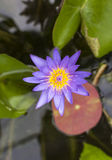 Purple lotus flower opened on a pond with yellow center and wate stock photography