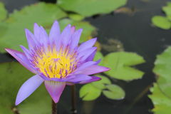 Purple lotus flower Stock Images