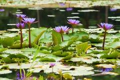 Purple lotus flower Stock Photos