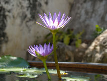 Purple lotus flower in a pond Royalty Free Stock Photo