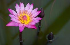 Purple lotus flower Royalty Free Stock Photography