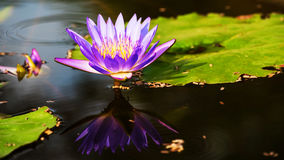 Purple lotus flower with reflection Royalty Free Stock Photos