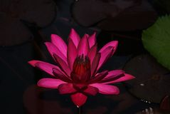 Purple Lotus flower surrounded by leaves. royalty free stock images