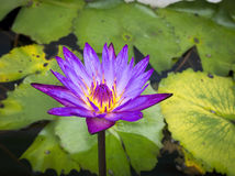 Purple lotus flower Royalty Free Stock Photos