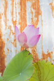 Purple lotus flower ,water lily and Drops Stock Images