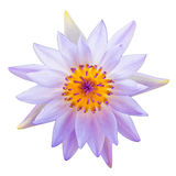 Purple lotus flower or water lily flowers. Stock Photography