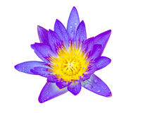 Purple lotus flower with yellow pollen and water drop Royalty Free Stock Photo