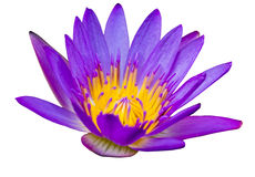 Purple lotus flower with yellow pollen Stock Photos