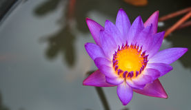 Purple lotus flowers Stock Image
