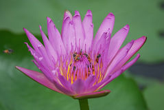 Purple Lotus Flowers and Bees Royalty Free Stock Image