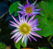 Purple lotus flowers bloom Stock Photo