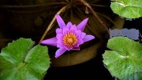 Purple lotus flowers are blooming. Purple lotus flowers are blooming royalty free stock photo