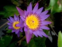 Purple Lotus Flowers Blooming. The Purple Lotus Flowers Blooming in The Pool stock photo
