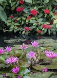 Purple lotus flowers blossoming in a pond stock photography