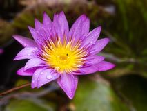 Purple Lotus Flowers, Blur bacgroud stock photography