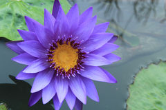 Purple Lotus Flowers Royalty Free Stock Photo