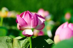 The purple lotus flowers Stock Images