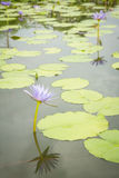Purple lotus flowers in the pond Royalty Free Stock Image