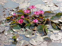 Purple Lotus Flowers or Water Lilly Stock Photo