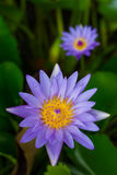Purple lotus focus, blurred. Stock Photo