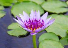 Purple lotus Stock Photos