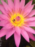 Purple lotus Stock Images