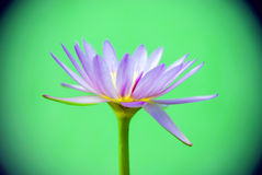 Purple lotus on green background. Closeup of purple lotus on green background royalty free stock images