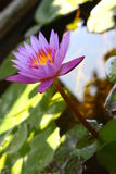 Purple lotus. Grow in pond Royalty Free Stock Photos
