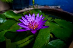 The purple lotus has bees in the lotus flower. The purple lotus has bees in the lotus leaf, green leaves in the leaves stock photography