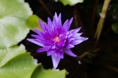 Purple Lotus Horrizon 01 Royalty Free Stock Images