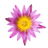 Purple lotus on isolate background Royalty Free Stock Photos