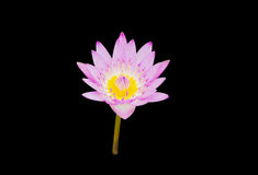 Purple Lotus Royalty Free Stock Images