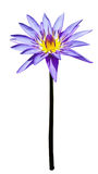 Purple lotus isolated. Purple lotur or water lily blossom isolate Royalty Free Stock Photo