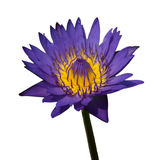 Purple lotus  isoleted. On white background Royalty Free Stock Images