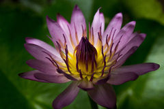 Purple lotus. In a jungle of thailand Royalty Free Stock Image