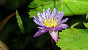 Purple Lotus or Lilly. This water lily has a beautiful flower which is usually violet blue in color with reddish edges Royalty Free Stock Photos