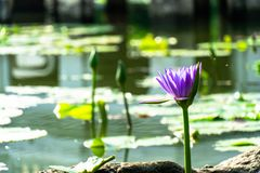 Purple lotus in a pond stock photo