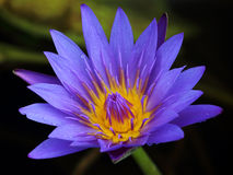 Purple lotus in the marsh with pollen Stock Photo