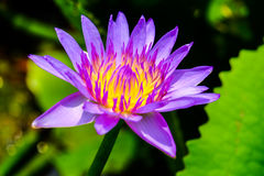 Purple lotus. In the morning Royalty Free Stock Photo