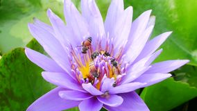 A purple lotus and bee. A purple lotus is one of the beautiful flower type stock footage