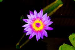 Purple Lotus Or Purple Water Lily Stock Photography