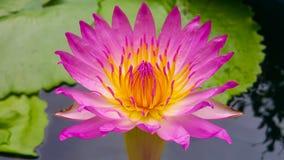 Purple lotus. Purple petal with yellow stamens Stock Photography
