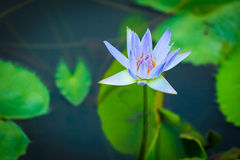 Purple lotus Stock Photos