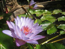 Purple lotus Stock Image