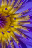 Purple Lotus Pollen Stock Photos