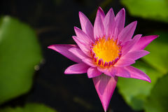 Purple Lotus. With in lotus pond Royalty Free Stock Image