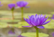 Purple lotus in a pond Stock Image